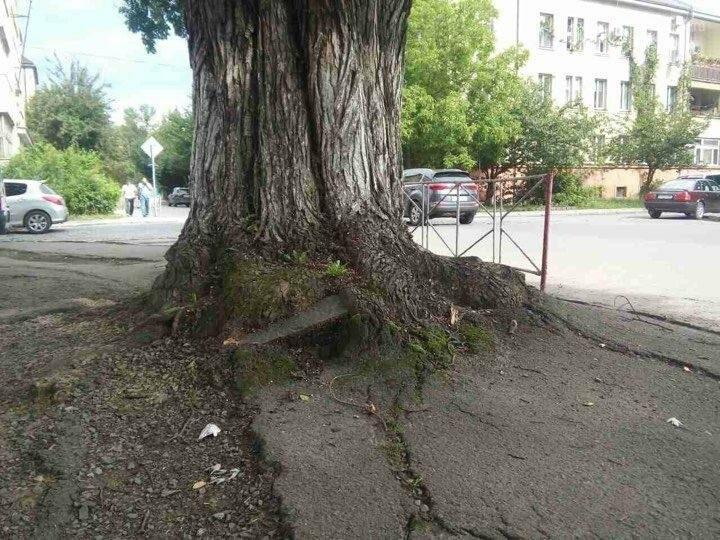 На Дружби народів в Ужгороді буде новий тротуар, а деякі дерева зріжуть: фото, фото-5