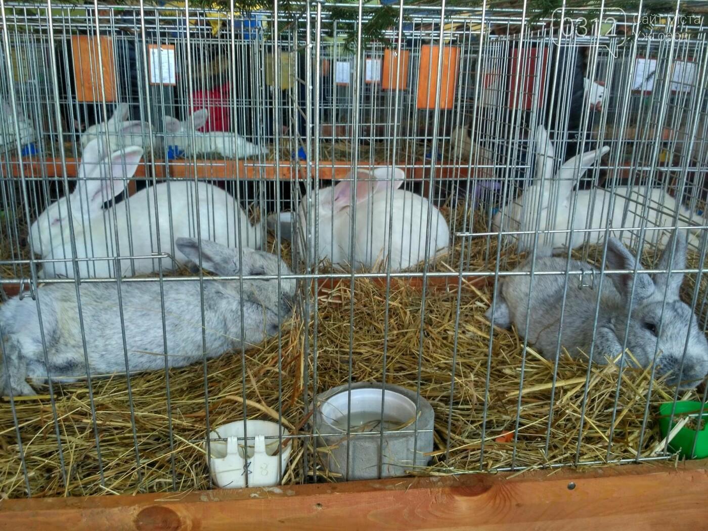 В Ужгороді пройшов 7-й традиційний показ за участі понад 200 елітних кроликів (ФОТОРЕПОРТАЖ), фото-24