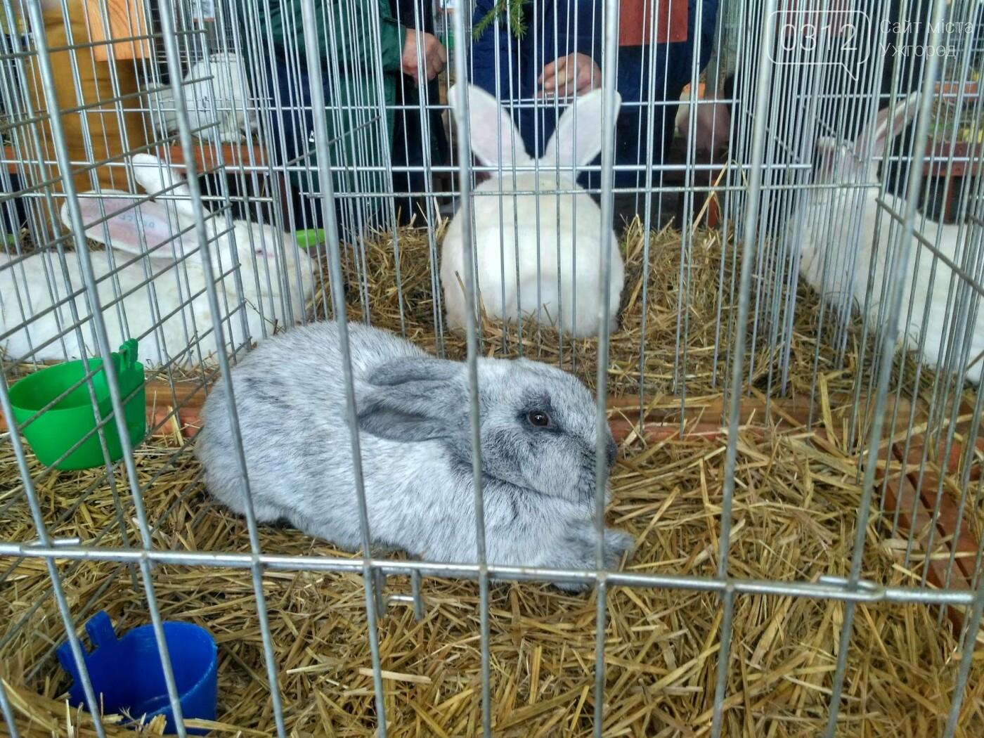В Ужгороді пройшов 7-й традиційний показ за участі понад 200 елітних кроликів (ФОТОРЕПОРТАЖ), фото-7