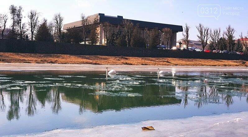 Щоб визволити лебедя, який примерз до льоду на Ужі, приїжджали рятувальники (ФОТО), фото-1