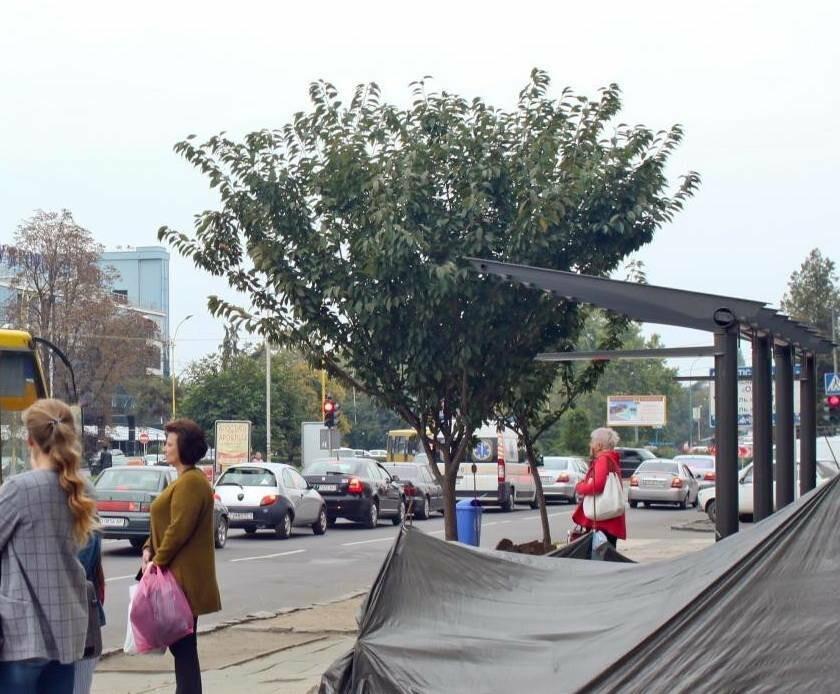 """""""Вирубані"""" сакури із зупинки на Проспекті Свободи в Ужгороді пройдуть реабілітацію (ФОТО), фото-1"""