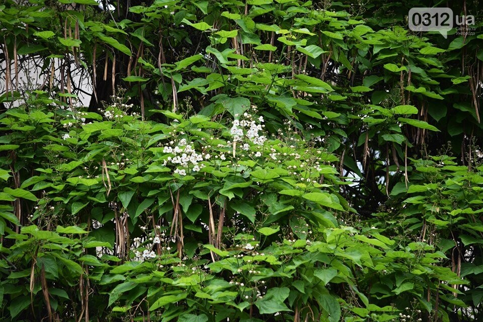 Де знайти в Ужгороді «макаронне дерево»? (ФОТО), фото-1