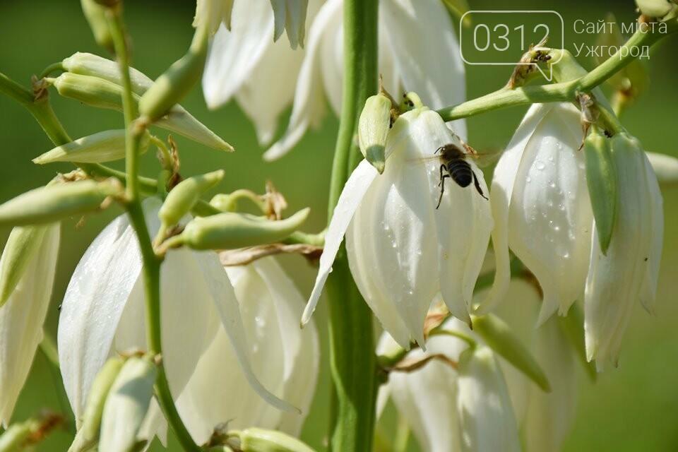 Ужгород квітне. Юка чи агава і чи буде текіла (ФОТОРЕПОРТАЖ), фото-8