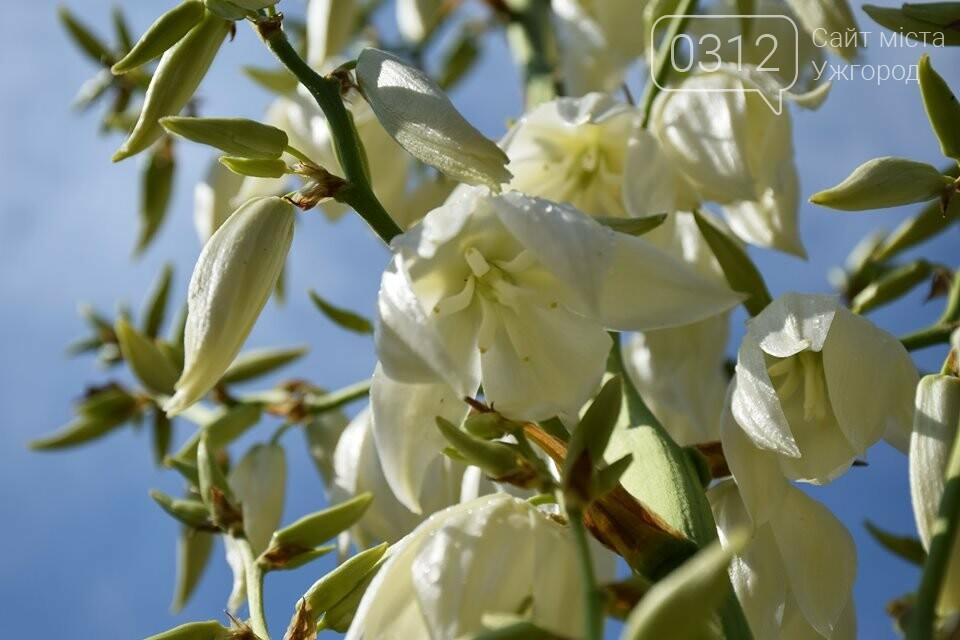 Ужгород квітне. Юка чи агава і чи буде текіла (ФОТОРЕПОРТАЖ), фото-6