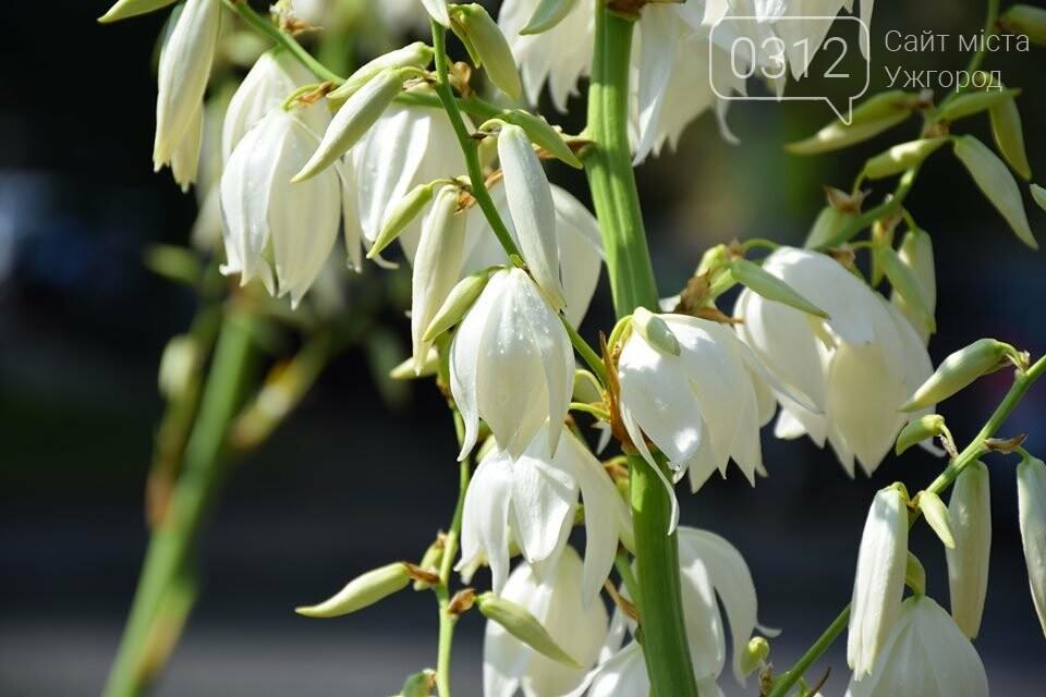 Ужгород квітне. Юка чи агава і чи буде текіла (ФОТОРЕПОРТАЖ), фото-7