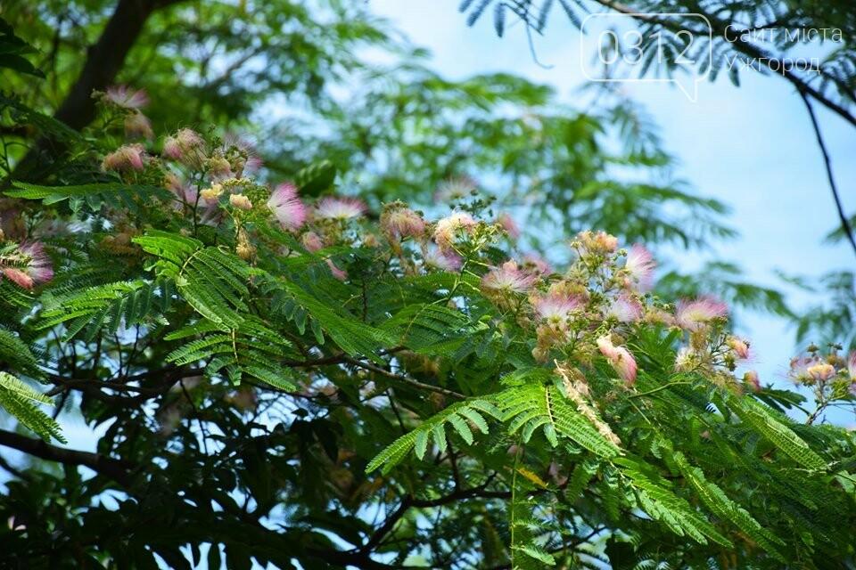 В Ужгороді квітне Альбіція Ленкоранська (ФОТОРЕПОРТАЖ), фото-1
