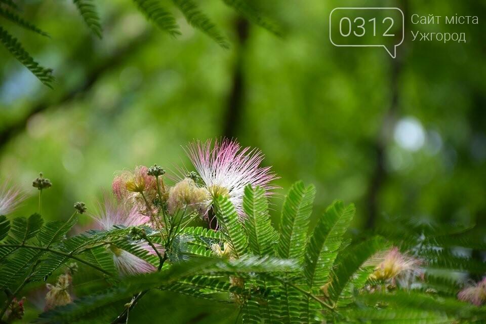 В Ужгороді квітне Альбіція Ленкоранська (ФОТОРЕПОРТАЖ), фото-3