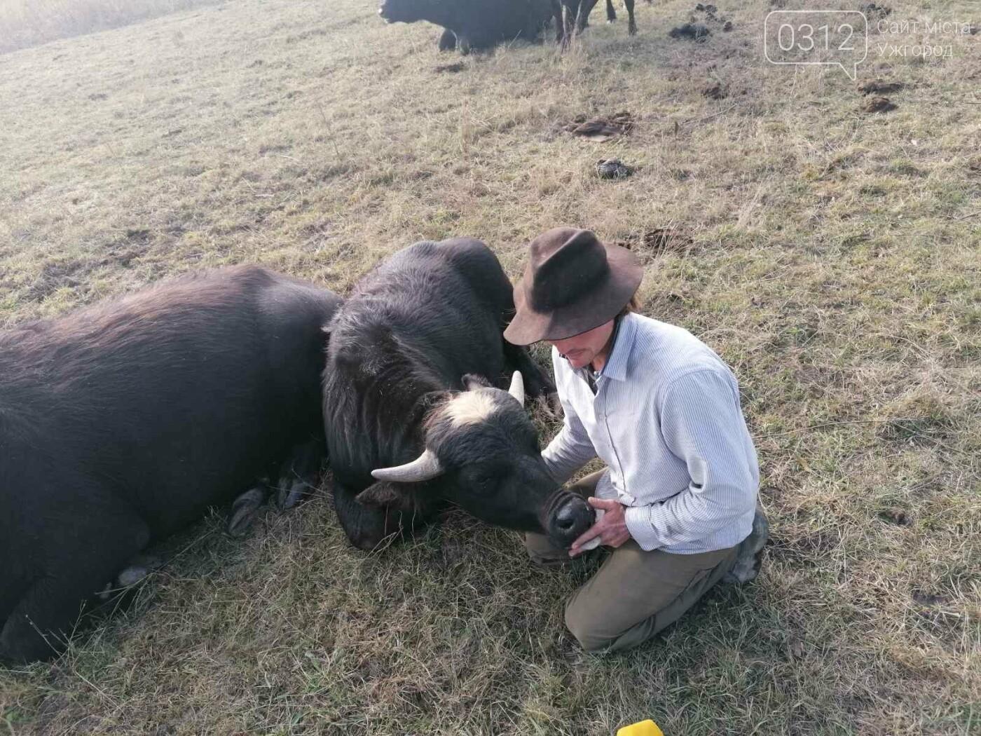 Еколог з Німеччини кинув усе та переїхав на Закарпаття розводити буйволів (ВІДЕО), фото-3