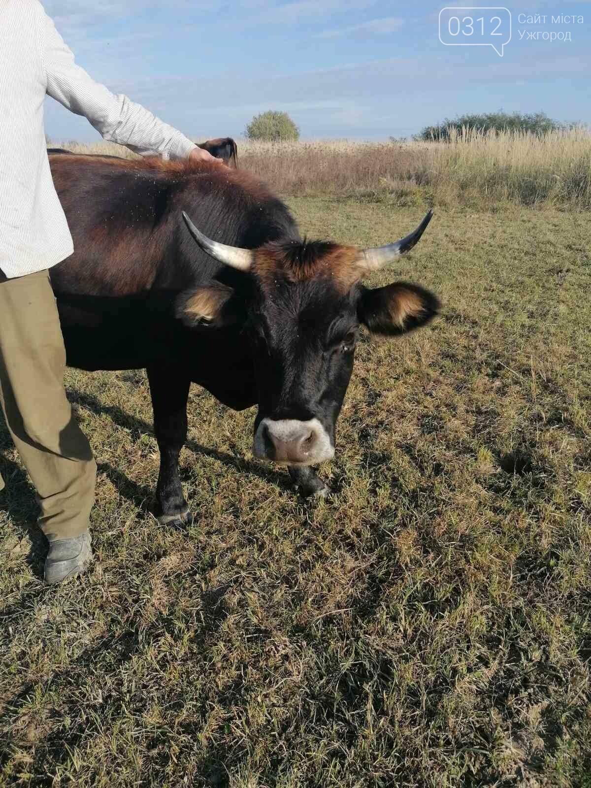 Еколог з Німеччини кинув усе та переїхав на Закарпаття розводити буйволів (ВІДЕО), фото-4
