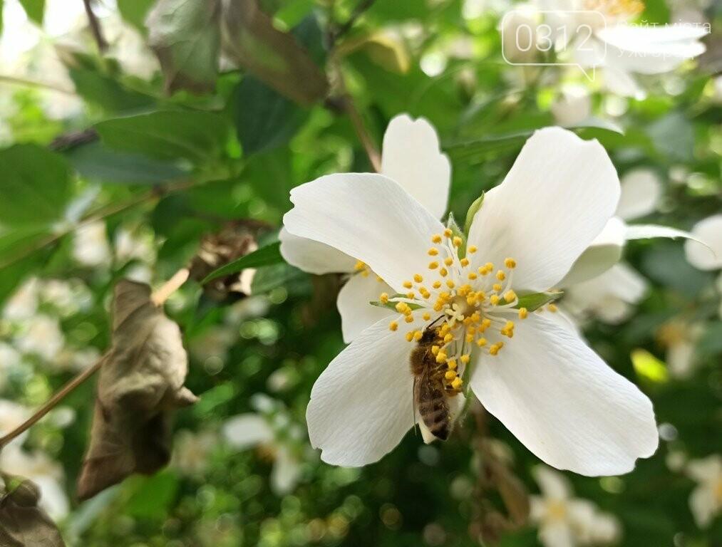 Ужгород – місто, де все квітне алеями. На черзі – жасмин! (ФОТО), фото-2