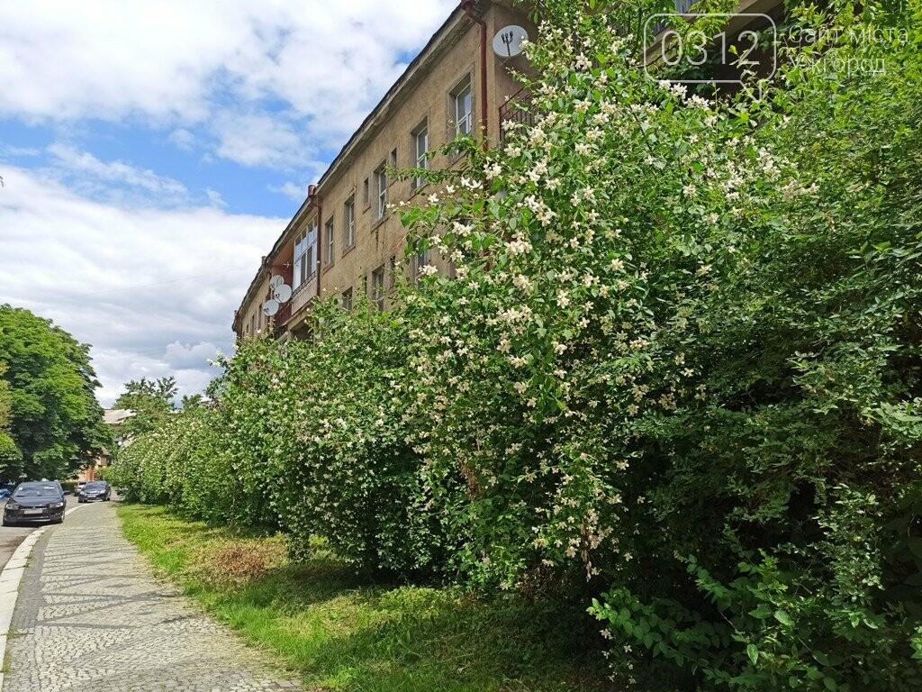 Ужгород – місто, де все квітне алеями. На черзі – жасмин! (ФОТО), фото-4