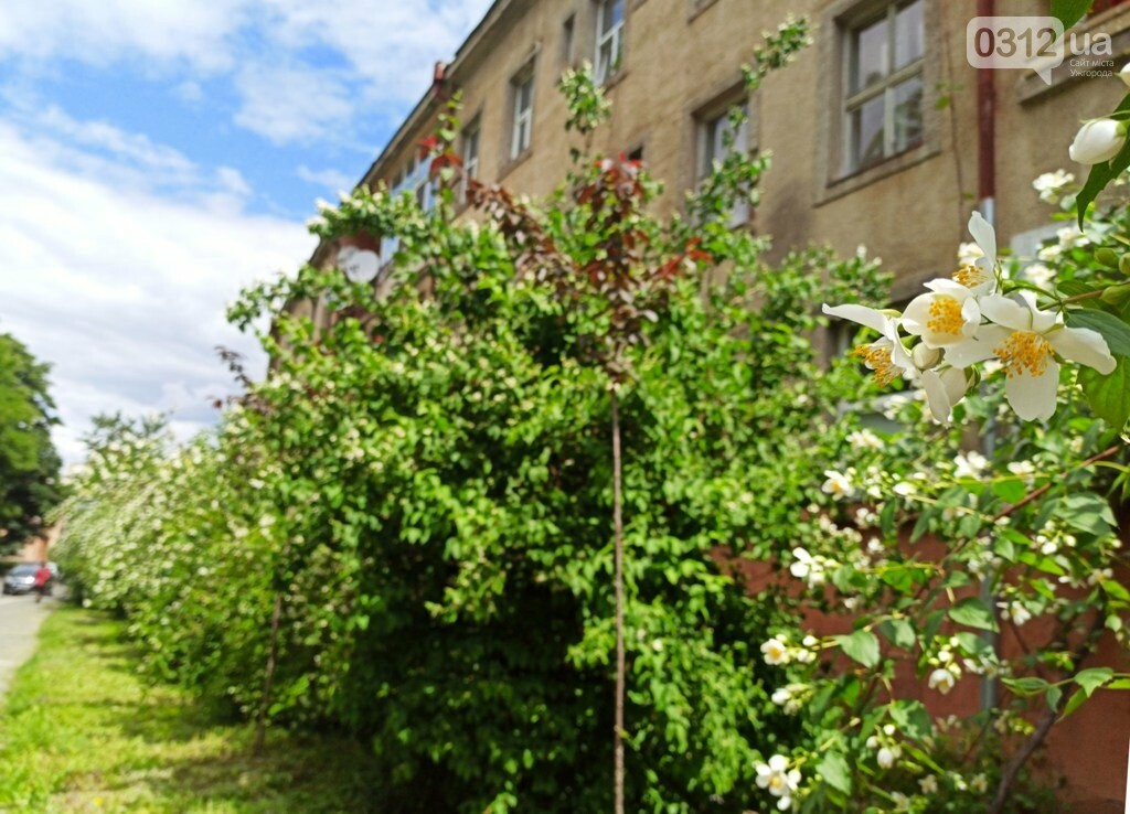 Ужгород – місто, де все квітне алеями. На черзі – жасмин! (ФОТО), фото-3