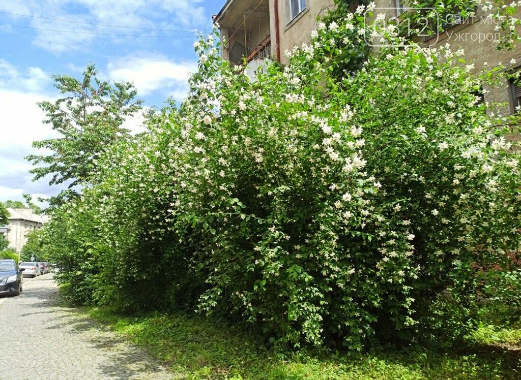 Ужгород – місто, де все квітне алеями. На черзі – жасмин! (ФОТО), фото-5