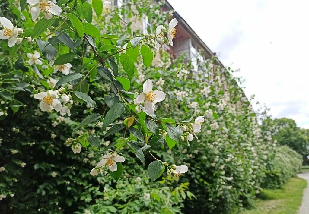 Ужгород – місто, де все квітне алеями. На черзі – жасмин! (ФОТО), фото-6