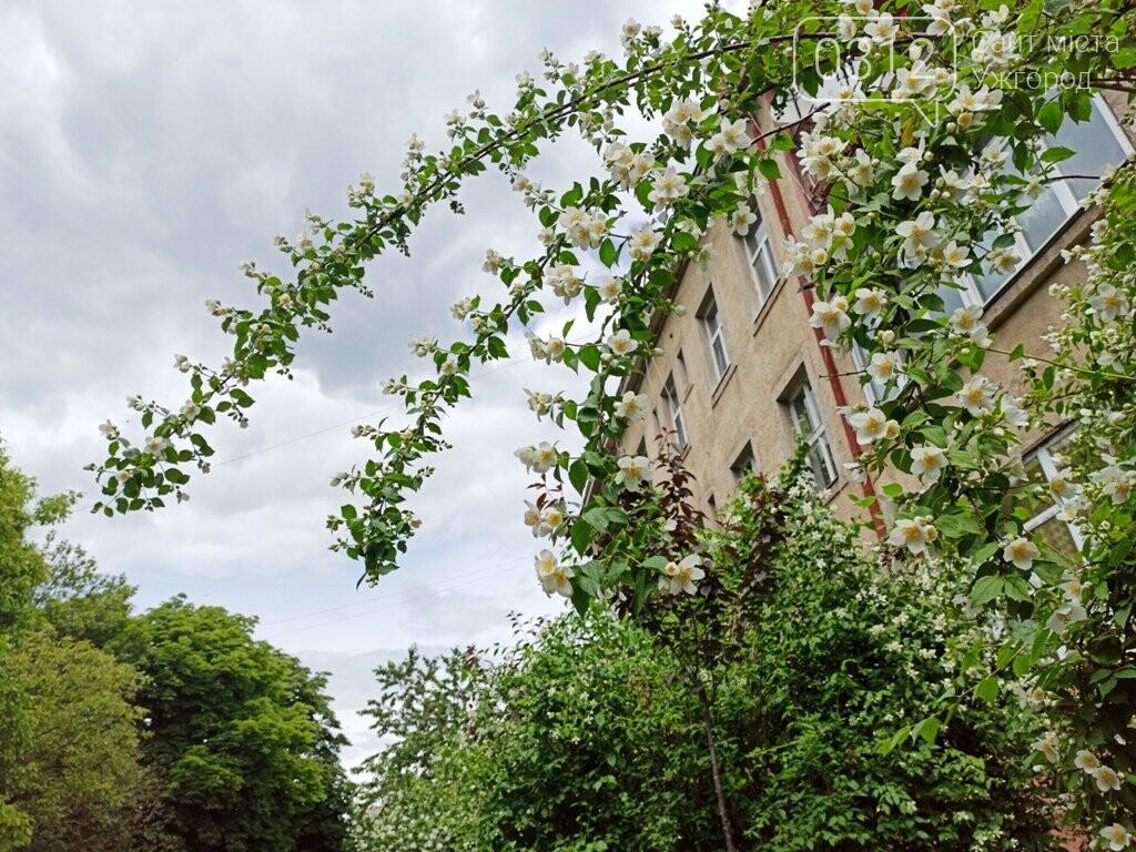 Ужгород – місто, де все квітне алеями. На черзі – жасмин! (ФОТО), фото-7
