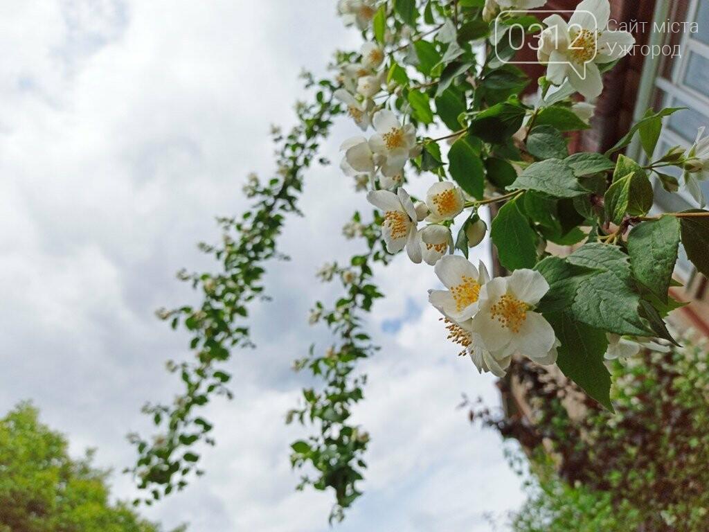 Ужгород – місто, де все квітне алеями. На черзі – жасмин! (ФОТО), фото-8