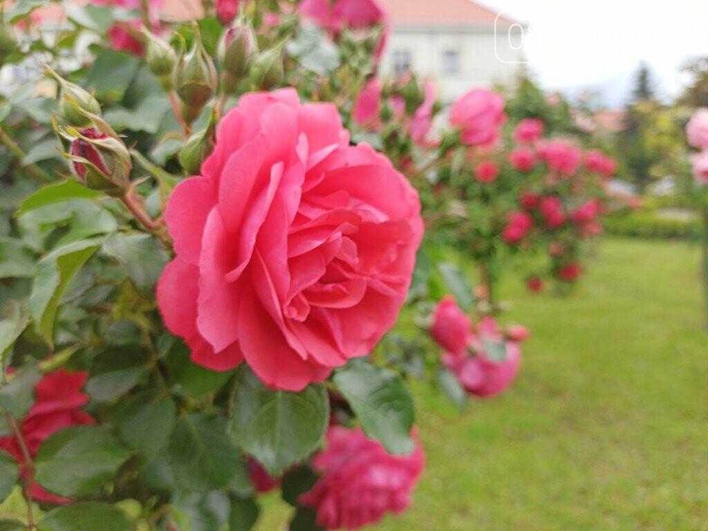 Ужгород – місто, де все квітне алеями. На черзі – жасмин! (ФОТО), фото-10