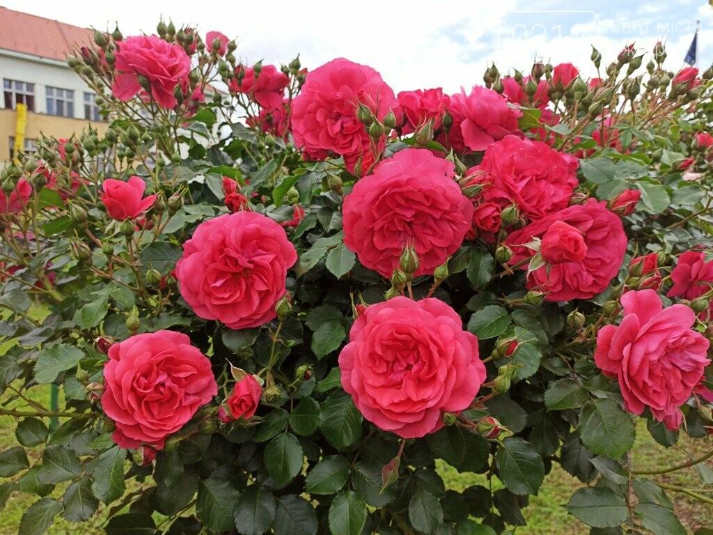 Ужгород – місто, де все квітне алеями. На черзі – жасмин! (ФОТО), фото-9