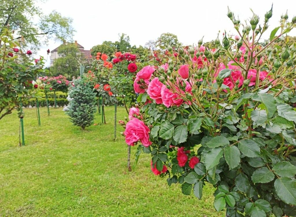 Ужгород – місто, де все квітне алеями. На черзі – жасмин! (ФОТО), фото-12