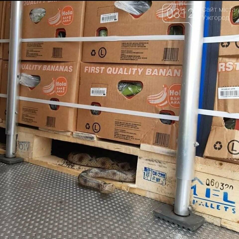 Закарпатський далекобійник виявив у вантажі з бананами велику тропічну гадюку (ФОТО), фото-1