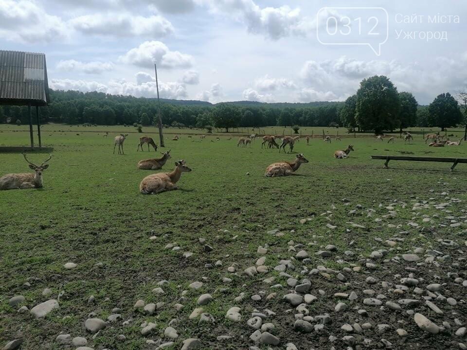 Унікальне Закарпаття: плямисті олені скинули старі роги та чекають туристів на єдиній в Україні фермі (ФОТО, ВІДЕО), фото-1