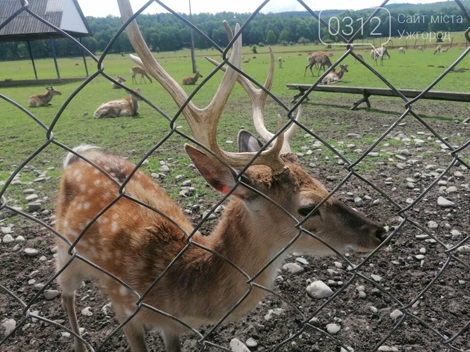 Унікальне Закарпаття: плямисті олені скинули старі роги та чекають туристів на єдиній в Україні фермі (ФОТО, ВІДЕО), фото-2