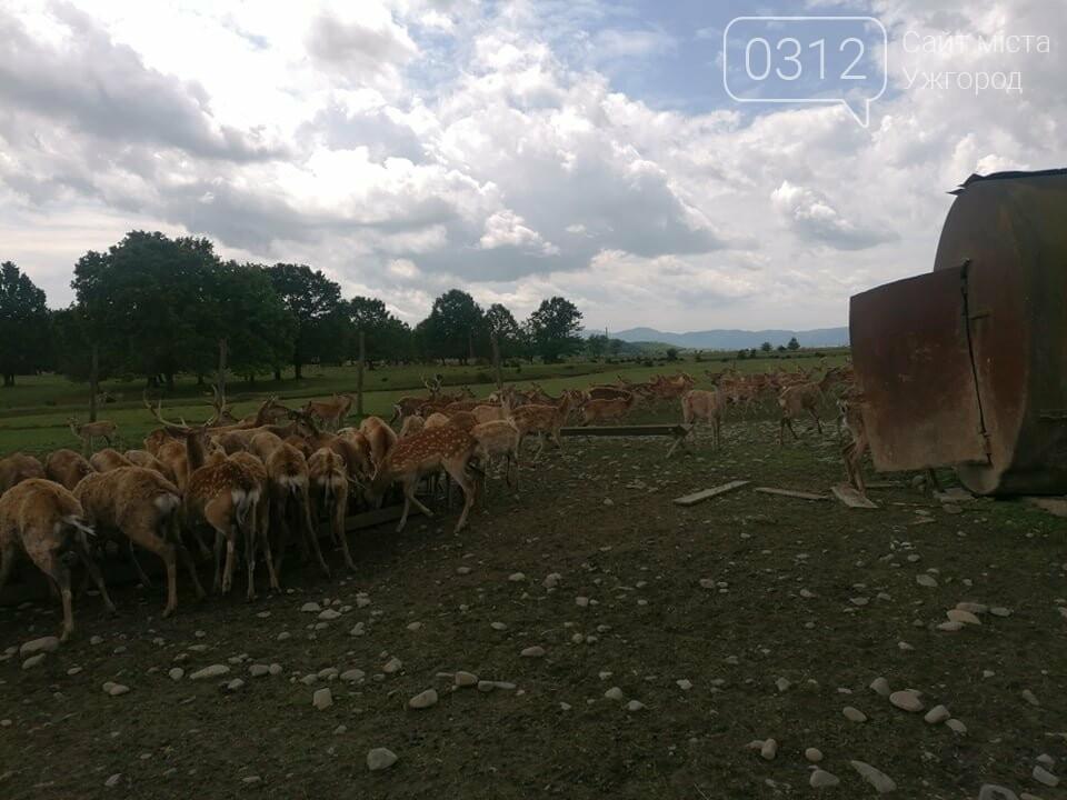 Унікальне Закарпаття: плямисті олені скинули старі роги та чекають туристів на єдиній в Україні фермі (ФОТО, ВІДЕО), фото-4