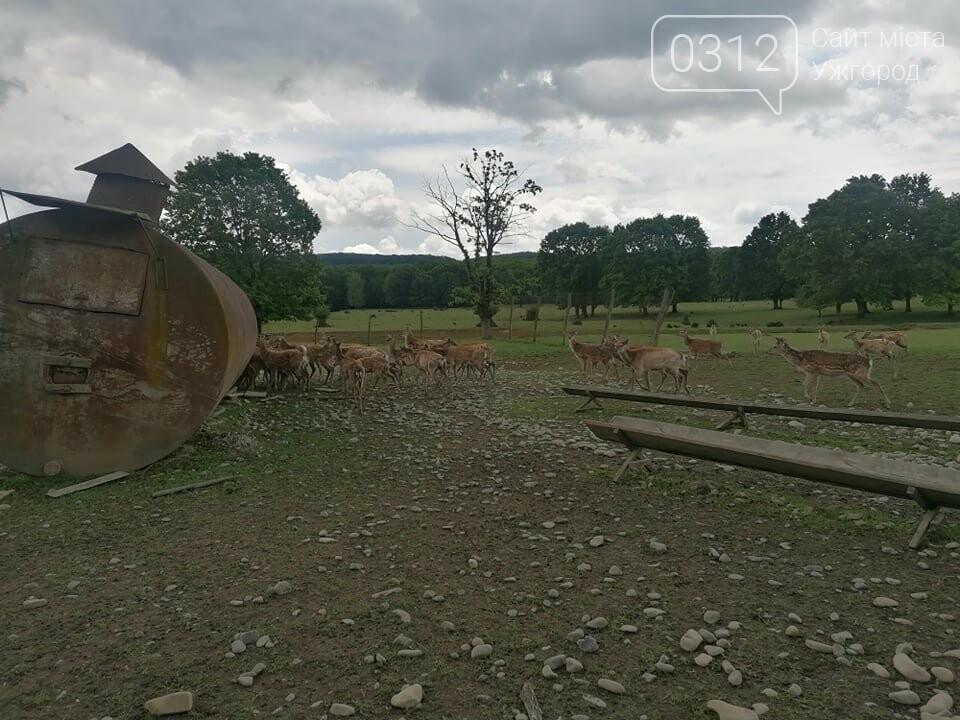 Унікальне Закарпаття: плямисті олені скинули старі роги та чекають туристів на єдиній в Україні фермі (ФОТО, ВІДЕО), фото-3
