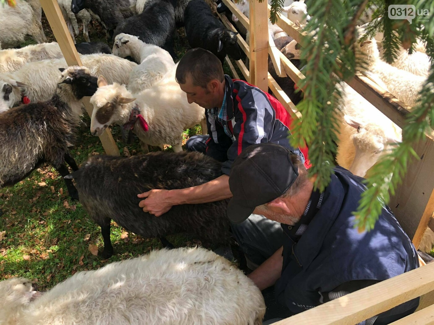 Добра традиція: на Міжгірщині урочисто провели отари на полонину (ФОТО, ВІДЕО), фото-8