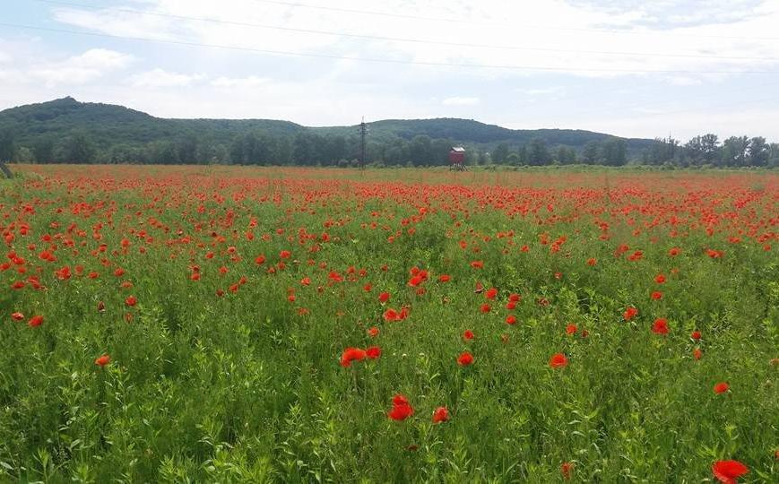Біля Ужгорода розцвіло величезне макове поле: фото, фото-1