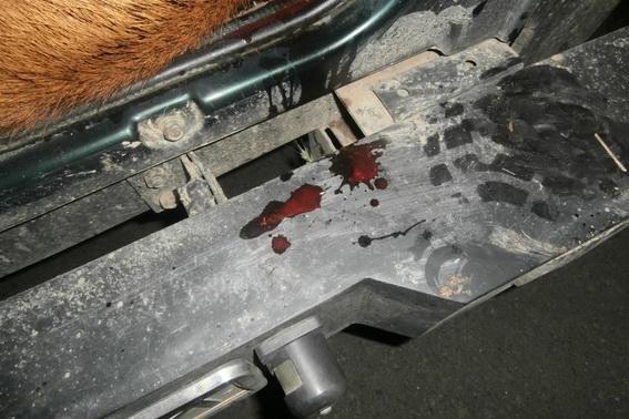 На Берегівщині затримали браконьєрів з тушею вбитого оленя: фото, фото-3