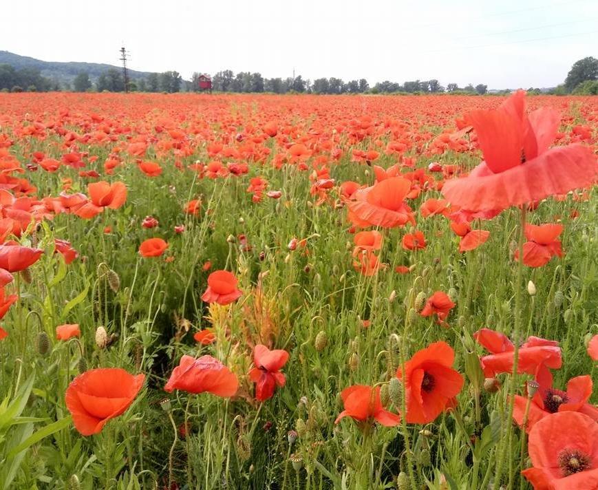 На Ужгородщині косять неймовірне макове поле: фото, фото-2