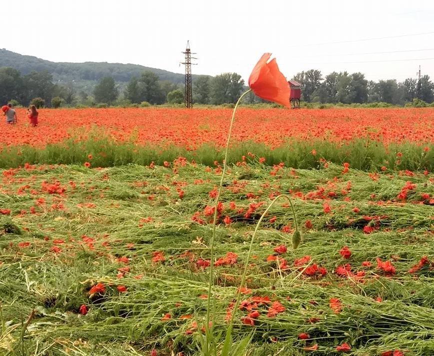 На Ужгородщині косять неймовірне макове поле: фото, фото-6