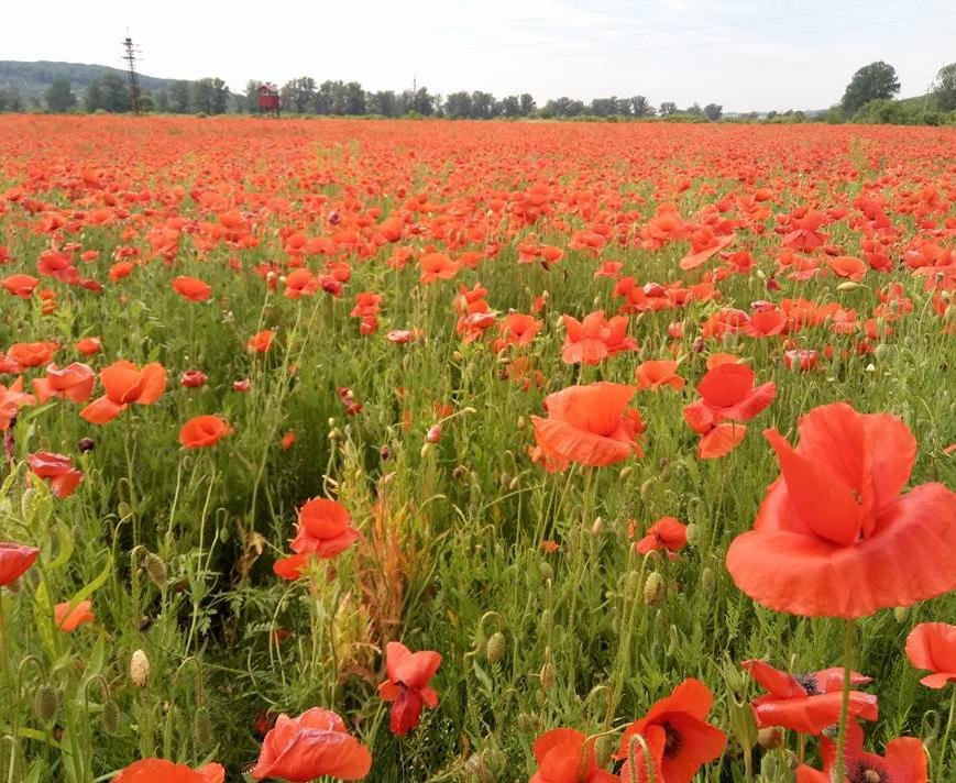 На Ужгородщині косять неймовірне макове поле: фото, фото-7