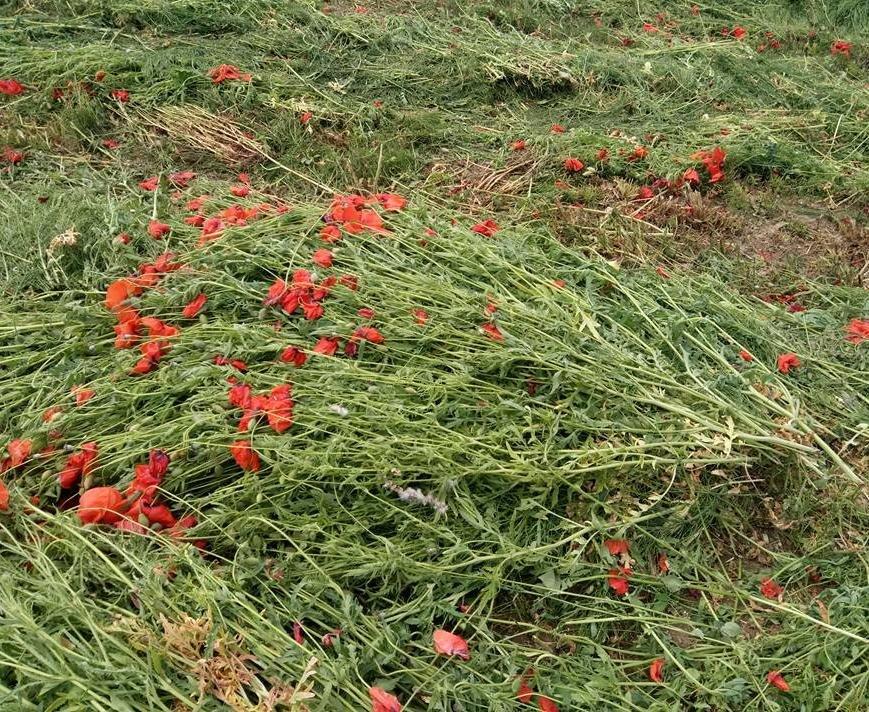На Ужгородщині косять неймовірне макове поле: фото, фото-8