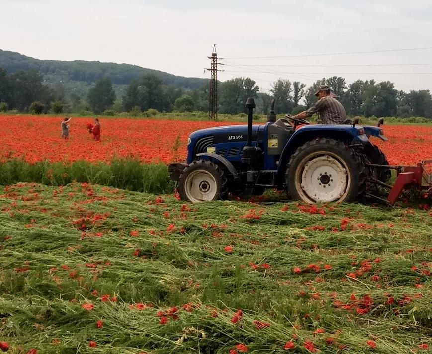 На Ужгородщині косять неймовірне макове поле: фото, фото-1