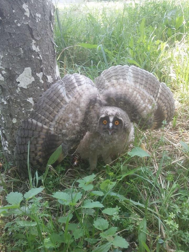 У соцмережі опублікували фото великої сови, яка впала із дерева на Собранецькій в Ужгороді, фото-2
