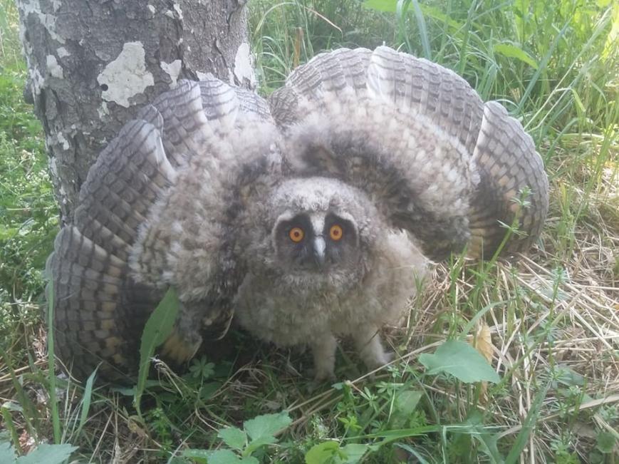 У соцмережі опублікували фото великої сови, яка впала із дерева на Собранецькій в Ужгороді, фото-1