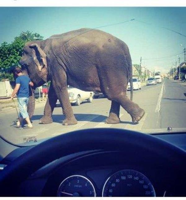 Як вулицями Тячева вигулювали слона: фото, фото-1