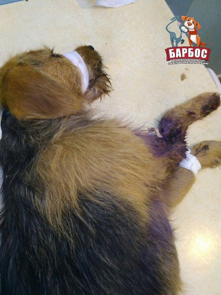 На Ужгородщині невідомі зі зброєю поранили собаку: Бобик залишився без лапи (ФОТО), фото-2