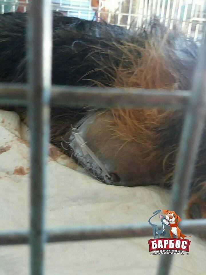 На Ужгородщині невідомі зі зброєю поранили собаку: Бобик залишився без лапи (ФОТО), фото-3