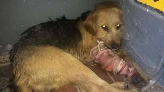 На Ужгородщині невідомі зі зброєю поранили собаку: Бобик залишився без лапи (ФОТО), фото-1