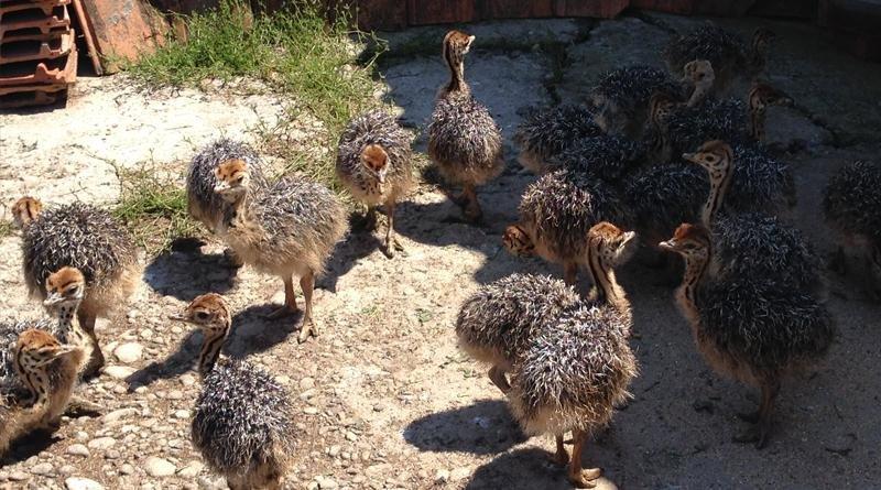Як Василь із Хуста страусів на фермі вирощує: фото, фото-4