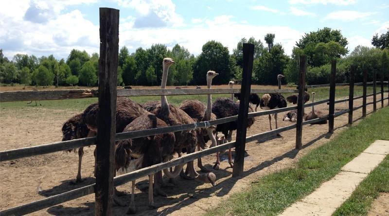 Як Василь із Хуста страусів на фермі вирощує: фото, фото-1