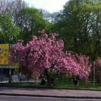 В Ужгороді на Дружбі Народів комунальники зрубали сакуру: фото, фото-1