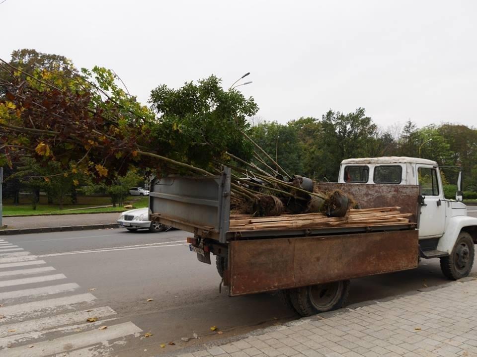 Клени та ясени: сьогодні в Ужгороді посадили 37 нових дерев (ФОТО), фото-2