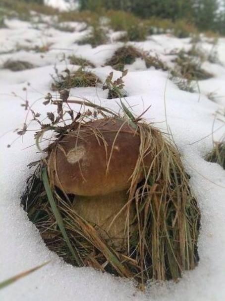 У Карпатах білі гриби збирають вже під снігом: фото, фото-2