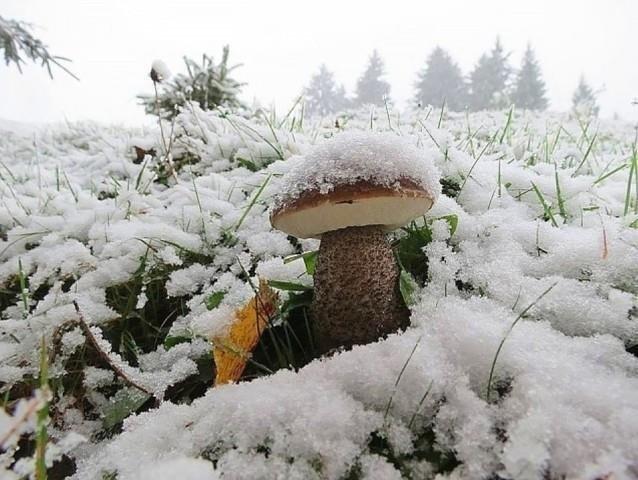У Карпатах білі гриби збирають вже під снігом: фото, фото-1