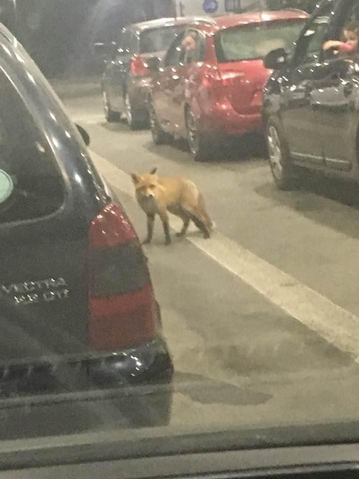 """""""Це старший зміни"""": у черзі на закарпатському кордоні помітили перелякану лисицю-""""пересічницю"""" (ФОТО), фото-1"""