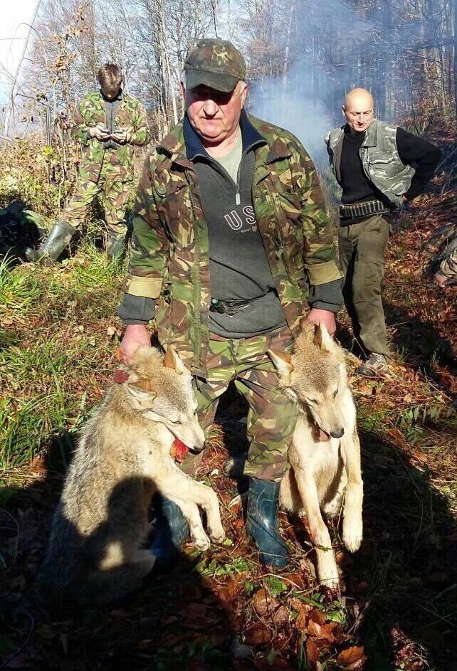 На Хустщині селяни вполювали 2-х вовків, які їли худобу і лякали людей: фото, фото-4